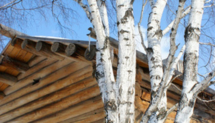 The unusual bark on birch trees adds interest to many landscape designs.