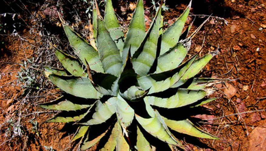 Agave requires bright light and little water.