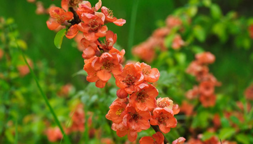 Abundant peachy blossoms cover flowering quince shrubs in spring.