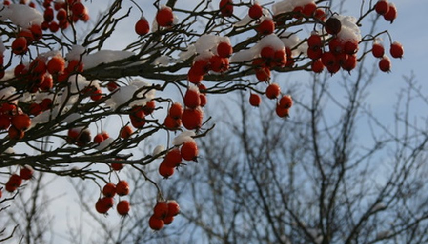 Berries add color to winter gardens.