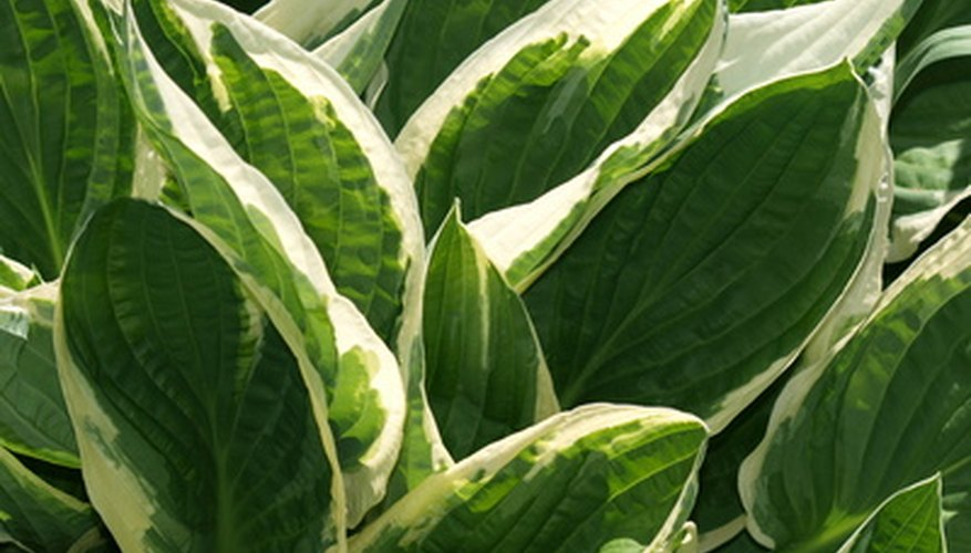 Hostas have variegated foliage that changes color in the fall.