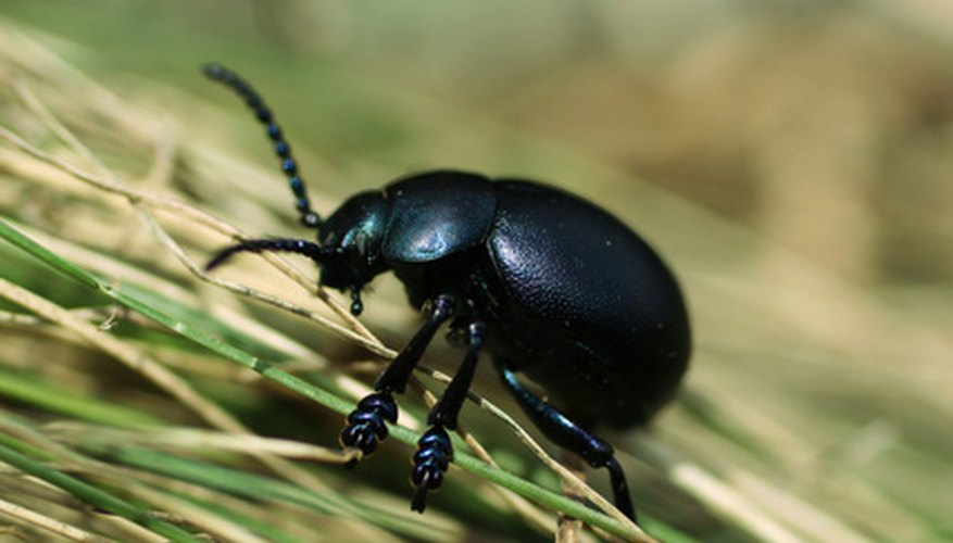 Black beetles eat many pests such as aphids and slugs.
