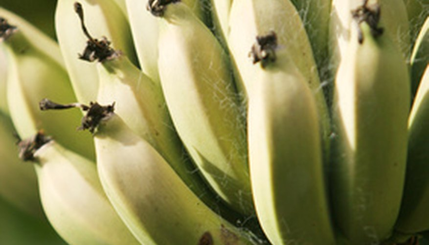 Banana fruits vary in size, shape and positioning.