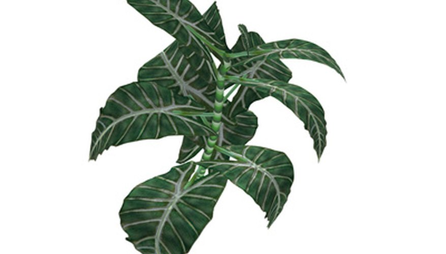 Alocasia polly plants are commonly called African mask plants.