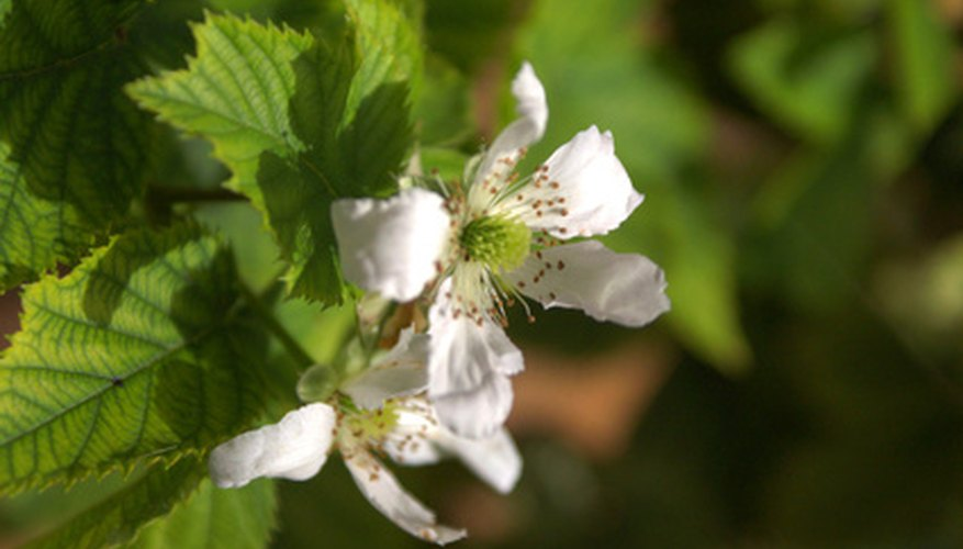 Raspberry bush flowers