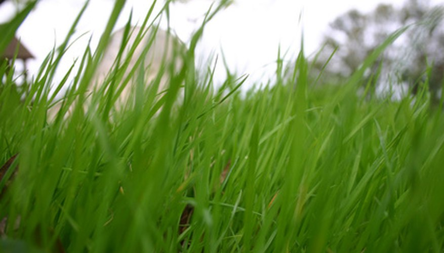 Proper lawn care keeps a lawn dense and green throughout the summer.