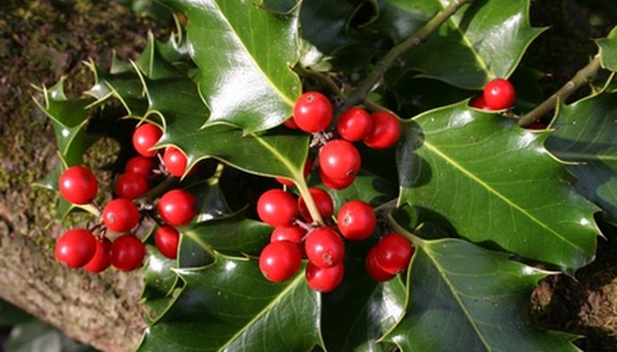 Holly trees are known for glossy foliage and colorful berries.
