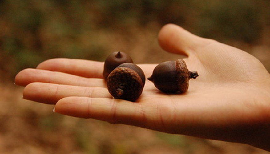 Acorns are seeds for oak trees.