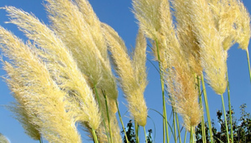Pampas grass is easy to grow.