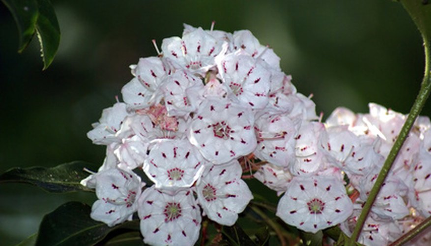 Mountain laurel flower cluster.