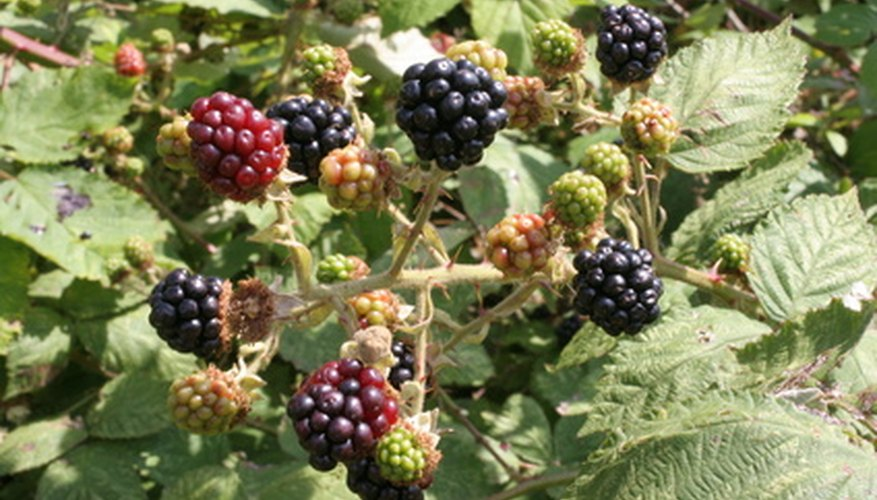 The berries are delicious, but wild blackberry is an invasive species that is difficult to eradicate.