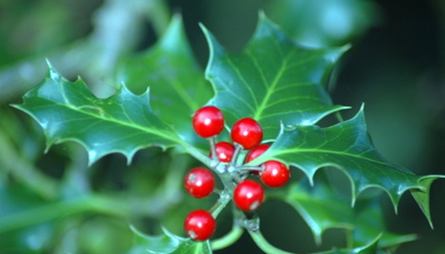 The holly bush produces bright red berries in fall and winter.