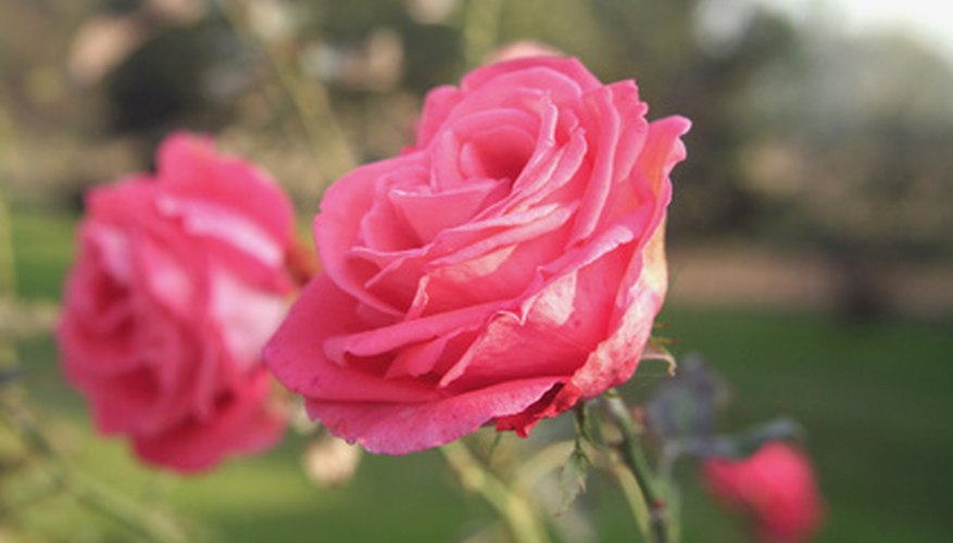 Floribunda rose plants maintain a compact shape in your flower garden.