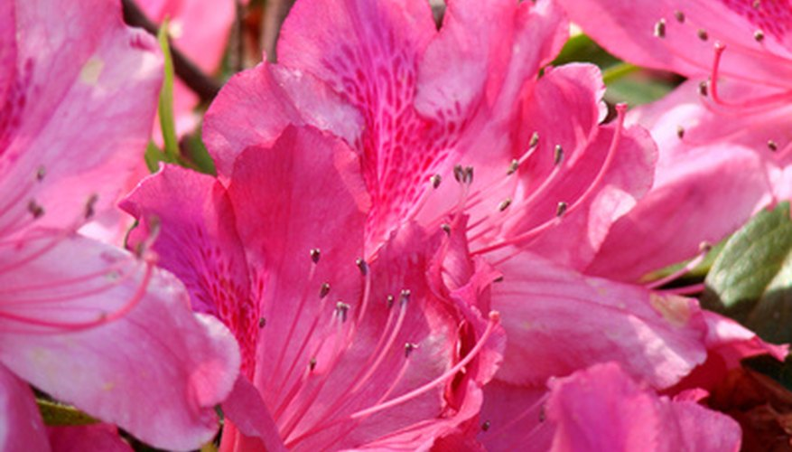 Azaleas are abundant in the Houston area.