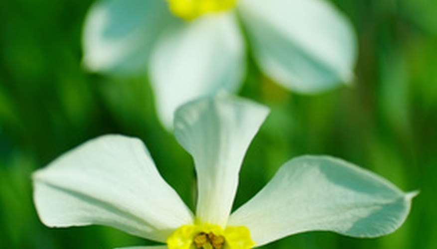 Delicate narcissus blooms outdoors in the spring.