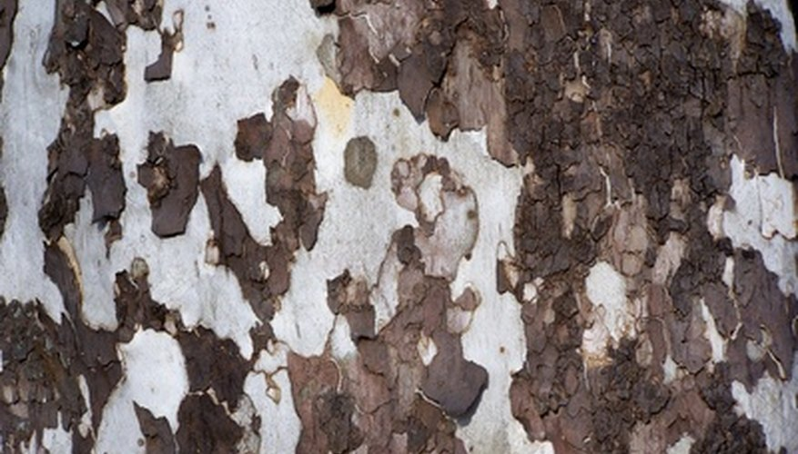 Sycamore tree bark resembles peeling paper.