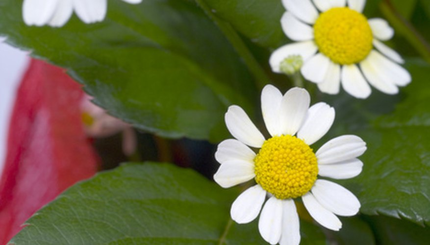 New Hampshire gardeners can brew their own chamomile tea.