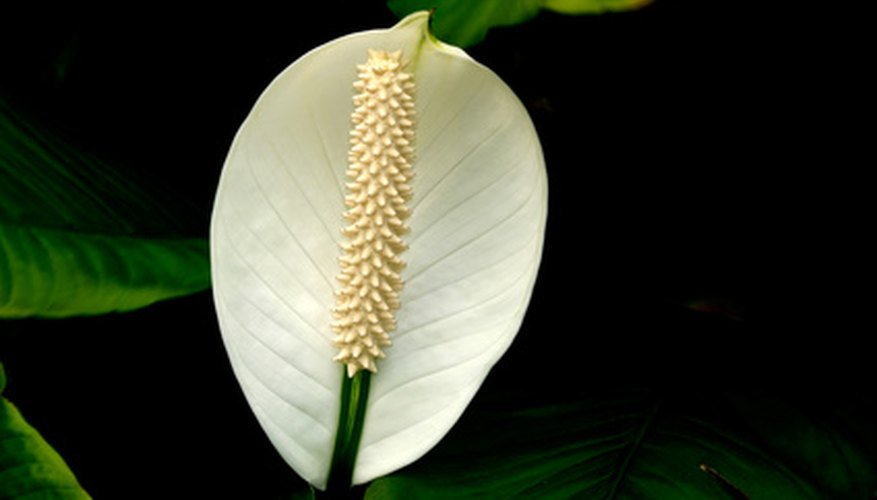 The peace lily flower is enclosed in a