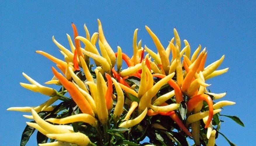 The fruits, not the flowers, of ornamental peppers look showy.