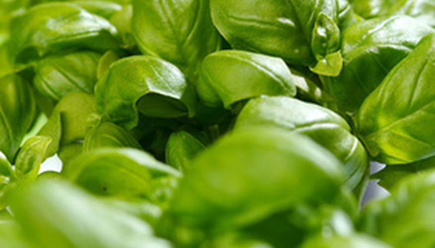 Sweet basil is a popular herb among Tennessee gardeners.
