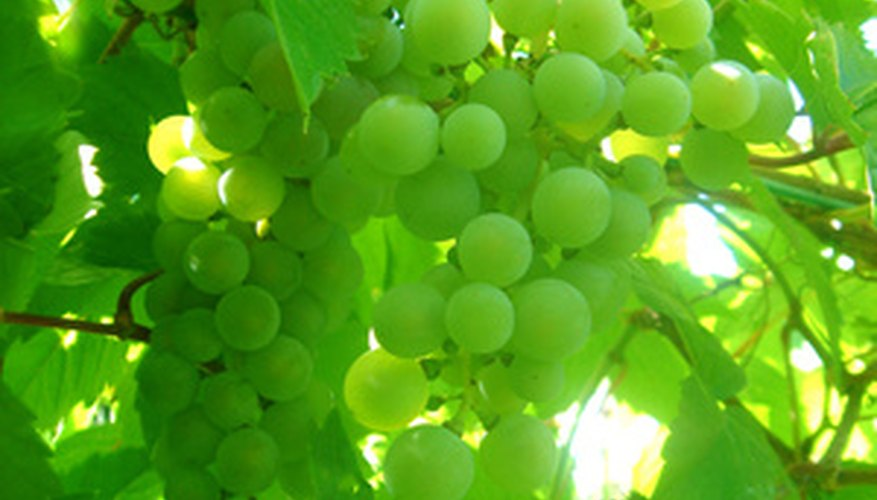 Prune grape vines to maintain vine health.