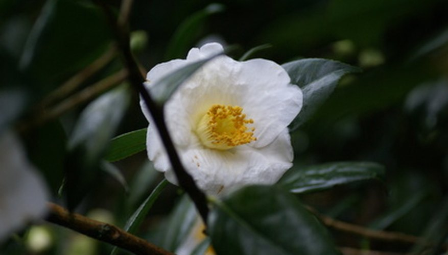 Sasanqua flowers are smaller but earlier blooming than common camellias.