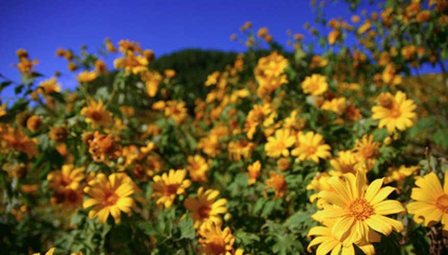 Mexican sunflowers come in shades of yellow as well orange.