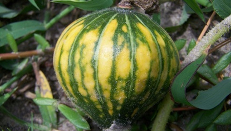 Squash comes in two varieties: winter and summer.