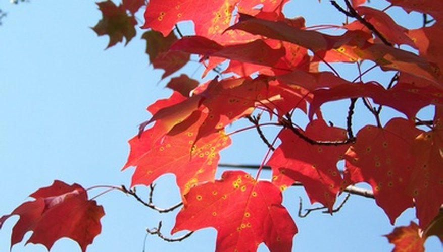Maples add fiery color to cool fall landscapes.