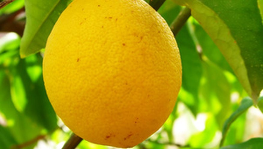 One lemon tree will produce more than enough lemons for a family.