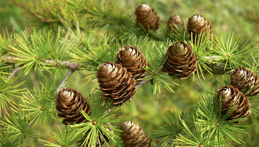 Black spruce trees have small, rounded cones.