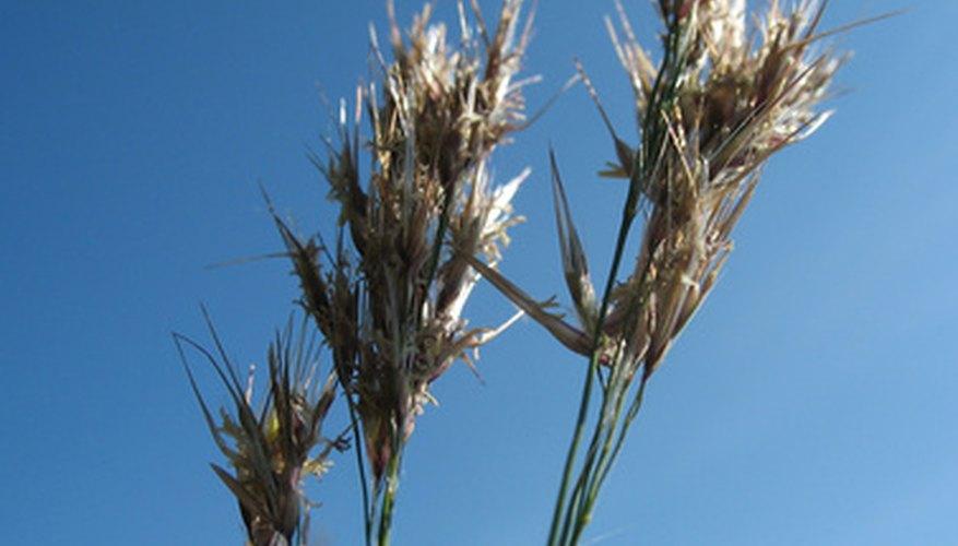 Las condiciones de sequía pueden hacer que los agricultores pierdan sus cosechas.