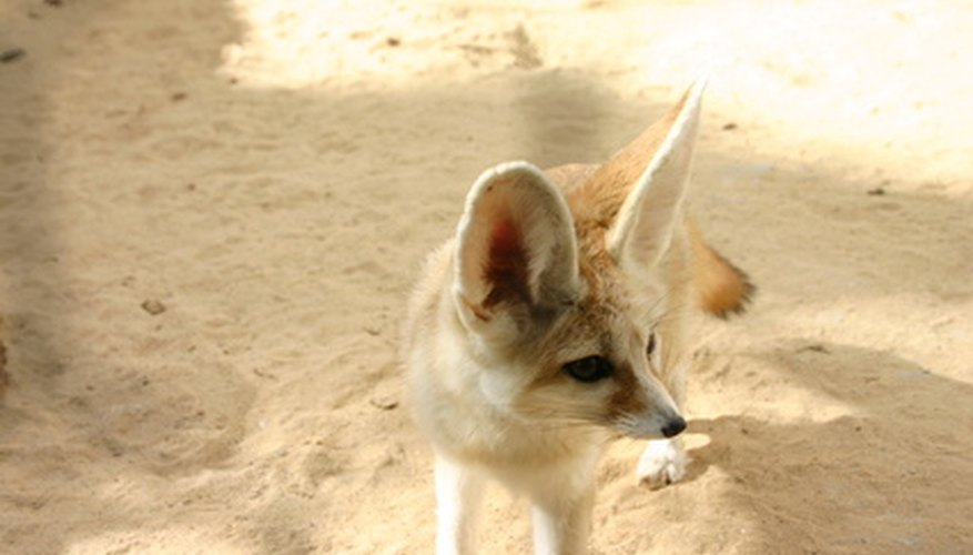 El zorro Fennec tiene los mayores oídos de cualquier especie canina.
