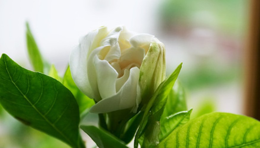Gardenias are a popular sun-loving tropical plant.