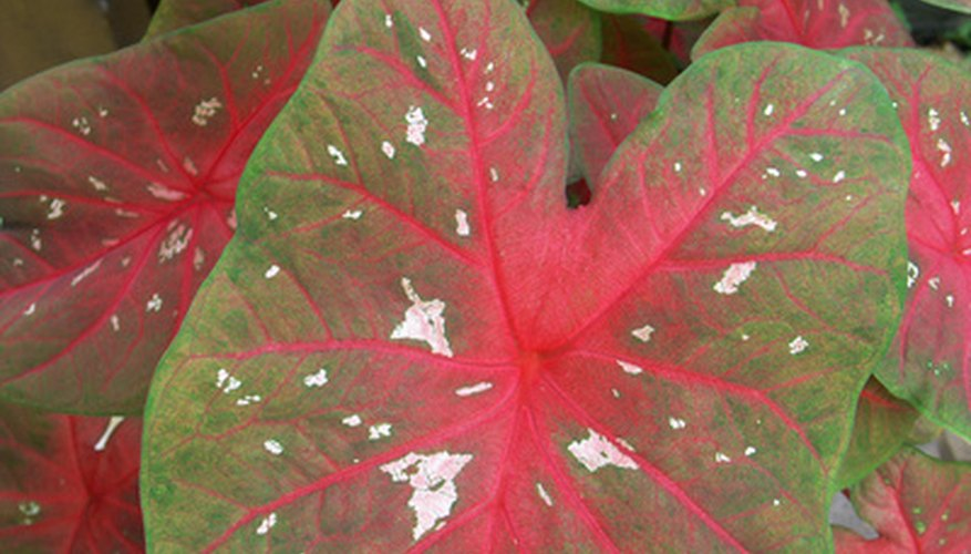Use caladiums in cut flowers to add accents to the blooms.