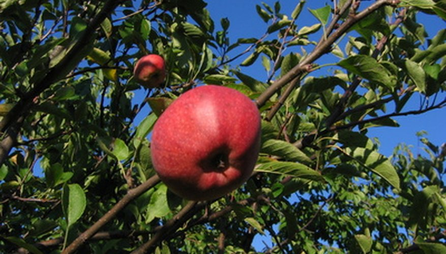 Apple trees produce delicious fruit.