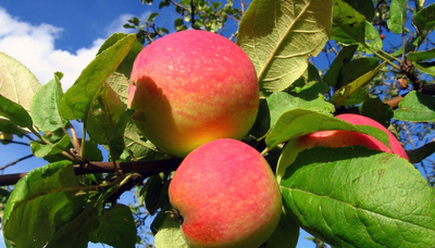 Apples are a leading fruit crop in the Ukraine.