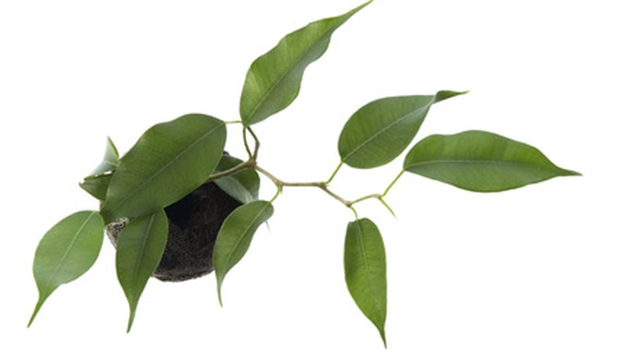 Ficus Trees Are Por Indoor Plants For Homes Lobbies And Offices If You Have A Tree Probably Experienced Leaf Drop Because