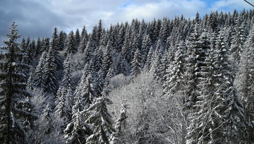 Evergreen trees have branches that point down to help them shed snow.