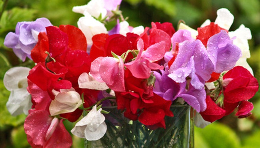 Sweet peas in a variety of hues.