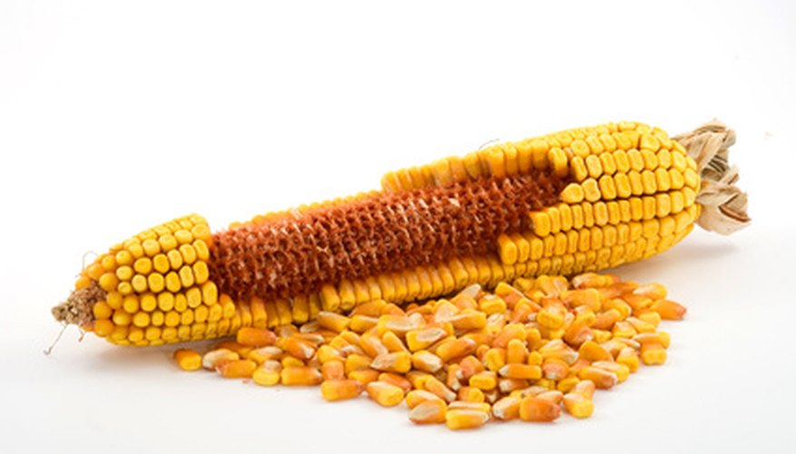 Corn seeds on the mature cob
