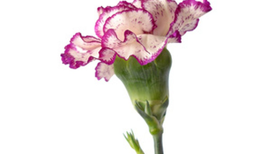 Carnations are available in a range of colors, including bi-colored blooms.