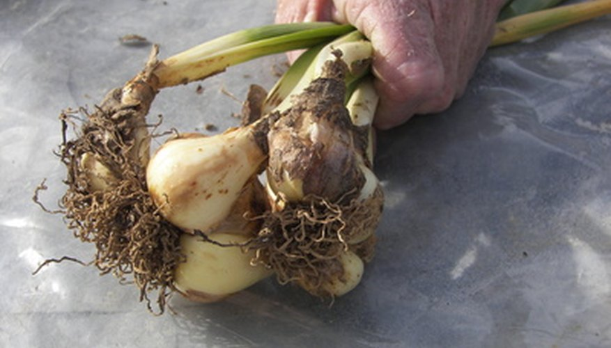 A clump of daffodil bulbs.