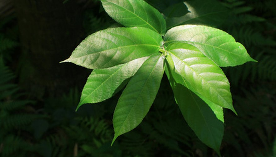 Arboricola plants are easy to maintain.