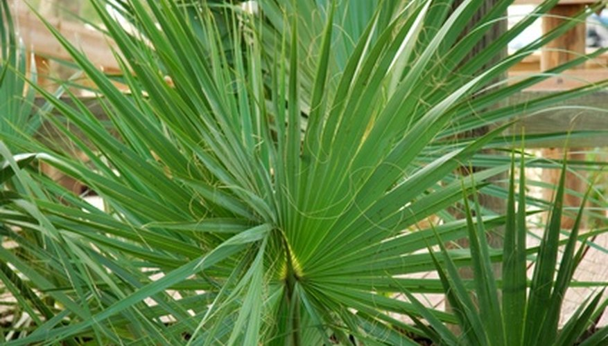 Many varieties of palms make excellent large house plants.