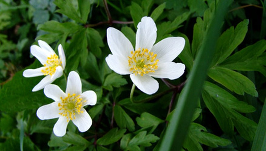 Japanese anemone require moist soil.