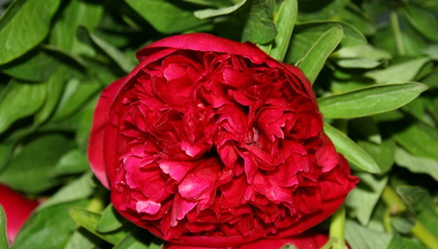 A red double-form flower of herbaceous peony.