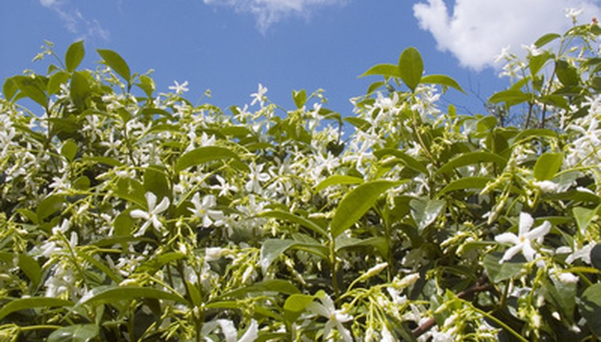 Star jasmine vines are beloved for their fragrant white, starry flowers.