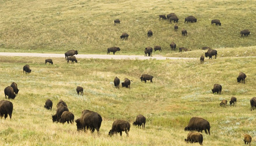 The grasses of the Upper Midwest once fed vast herds of American bison.