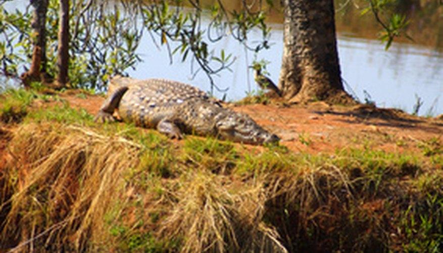 Los cocodrilos machos del Nilo llaman con sus voces para atraer a las hembras.